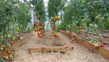 Paradižnik v rastlinjaku in 5 praktičnih trikov za enostavno vzgojo