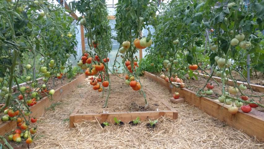 Vzgoja paradižnika v rastlinjaku