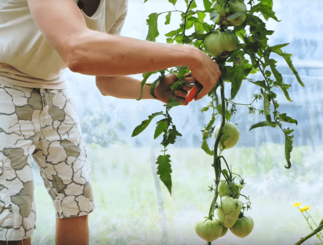 Rezanje spodnjih listov do izoblikovanih plodov.