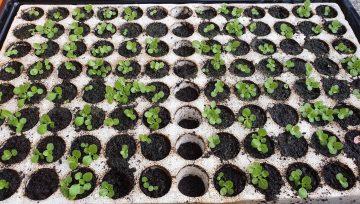 Vzgoja sadik motovilca se splača