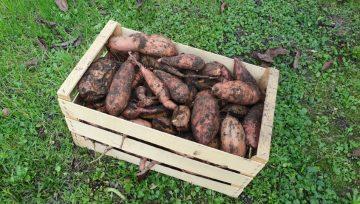 Pobiranje sladkega krompirja pred prvo zmrzaljo