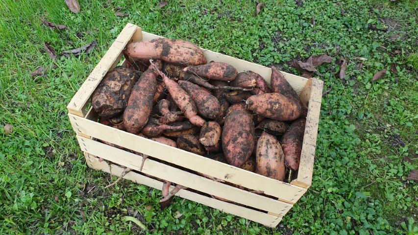Pobiranje sladkega krompirja