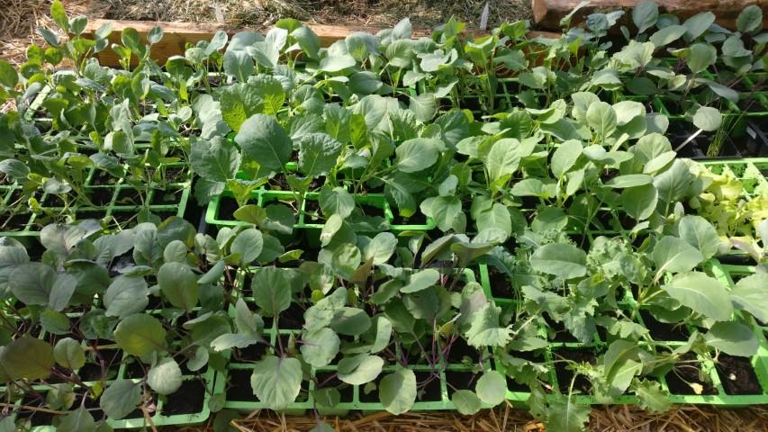 Kako vzgojiti sadike