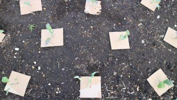 Kapusova muha in preventivna zaščita naših rastlin