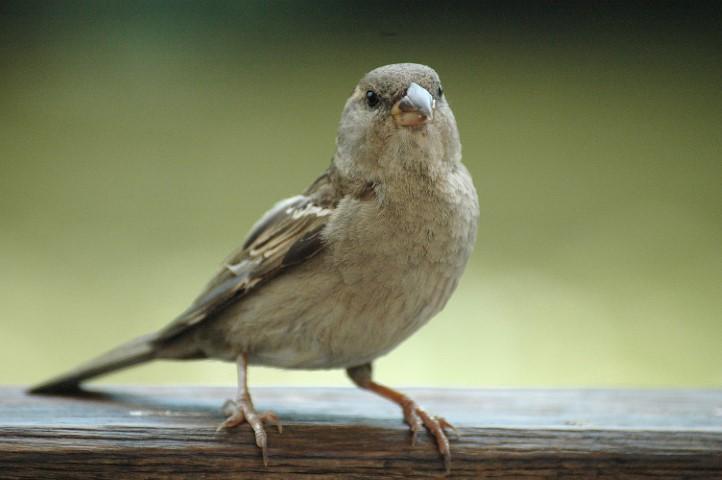 Domači vrabec Passer domesticus samica-min