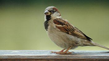 Domači vrabec samec - vrabci