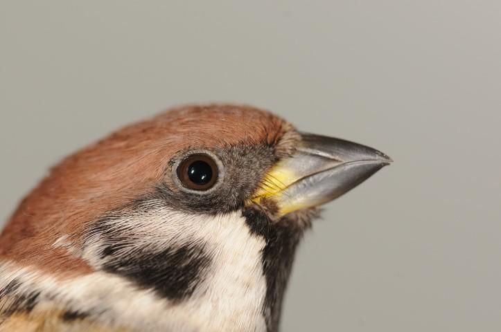 Poljski vrabec Passer montanus-min