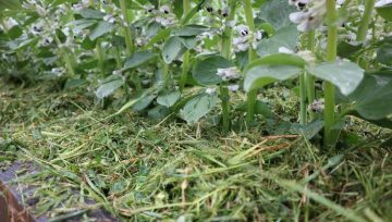Kako dodatno zastiranje tal shrani spomladanski dež za suhe poletne dni?