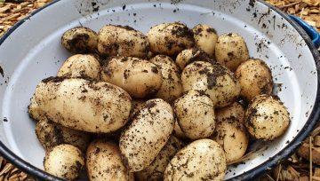 Mladi krompir - sprotno nabiranje