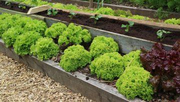 Je dvignjena greda dovolj visoka za vso zelenjavo?