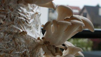 bukov ostrigar - vzgoja na slami
