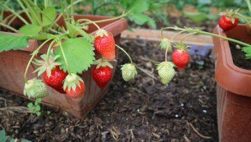 Kako presaditi in negovati zamrznjene frigo sadike jagod