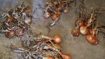 Skladiščenje čebule in razlike med različno vzgojo