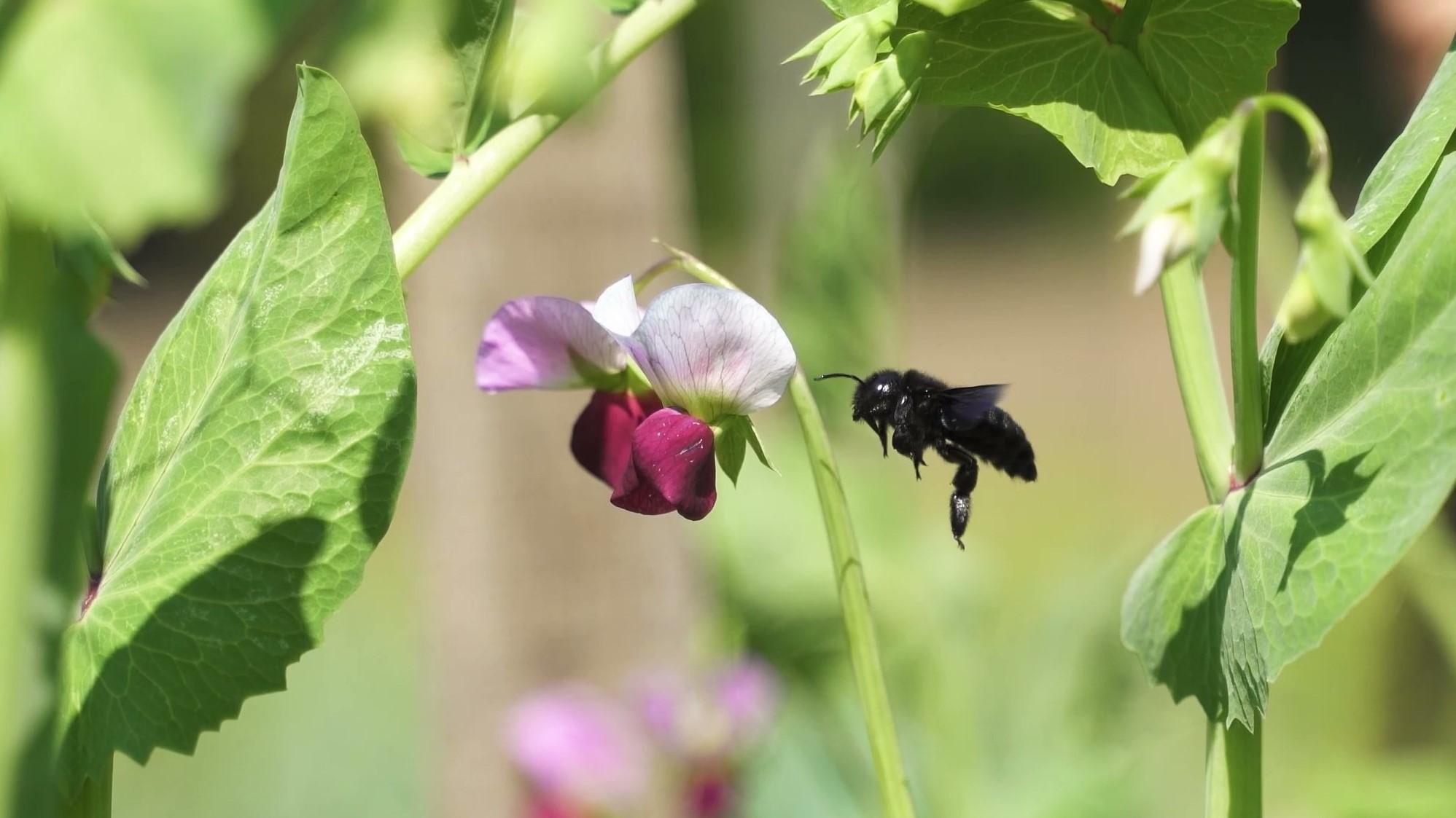 Lesna čebela